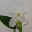オオボウシバナ:白花