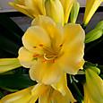 クンシラン:黄花