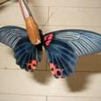 ナガサキアゲハ(♀裏面)